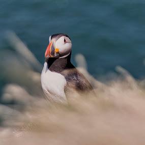 Atlantic Puffin by Jozef Svintek - Animals Birds ( bird shots, bird, irelands eye, bird photos, puffin,  )