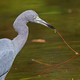 Nest Building! by Anthony Goldman - Animals Birds ( water, bird, wild, little blue, tampa, branch, pond, heron )