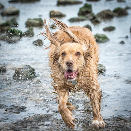 Cocker Spaniel loving the beach by Adrian Miller - Animals - Dogs Running ( dogs, cocker spaniel, pet, beach, dog, running )