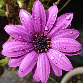 Purple Rain by Marion Metz - Flowers Single Flower ( water, purple, garden, new zealand, rain, flower )