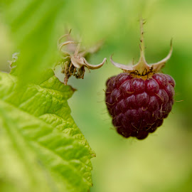 Raspberry. by Didier Kessi - Nature Up Close Gardens & Produce ( fruit, macro, raspberry, summer, garden )