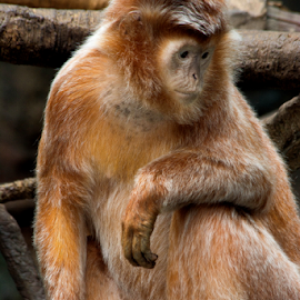 Deep Thought by Janet Lyle - Animals Other Mammals ( monkey )