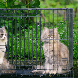 Two Cats by Ryan Mainstreem - Animals - Cats Portraits (  )
