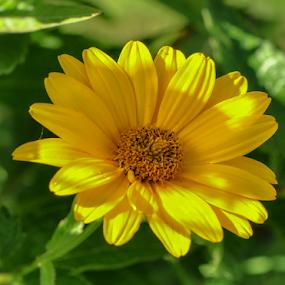by Irena Gedgaudiene - Flowers Flowers in the Wild ( last, autumn, nice, yellow, flower,  )