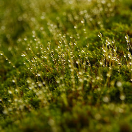 The Dew by Gaurav Alaspure - Nature Up Close Leaves & Grasses ( dew )