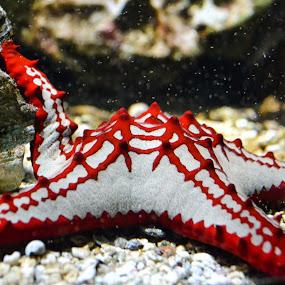 Sea star by Jean Bogdan Dumitru - Animals Sea Creatures ( plancton, star, sea )