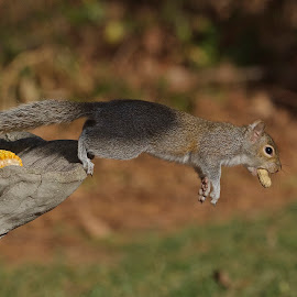 1,2,3 Jump!! by Roy Walter - Animals Other Mammals ( other mammals, animals, wildlife, squirrel )