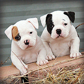 Double Trouble by Tasha Chasteen's AmericanBulldogs - Animals - Dogs Puppies ( bulldog, bulldog puppy, cute puppies, cute puppy, american bulldog, adorable puppies, puppy, cute, adorable puppy )