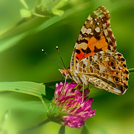 Rest by Radu Eftimie - Animals Insects & Spiders ( butterfly, flower )