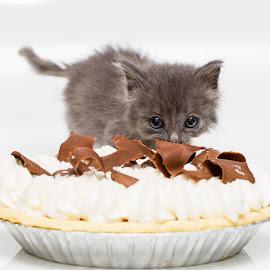 Pie Hunter by Gary Lura - Animals - Cats Kittens ( kitten, adopt, rescue, white background, pie )