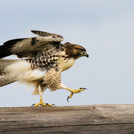 Out for a walk. by Brandi Nichols - Animals Birds ( bird, montana, wildlife, raptor, hawk )