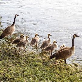 You Go First by Lisa Hughart - Animals Birds ( resting, family, learning, geese, birds, river )