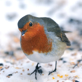 When the red, red, robin is bob, bob, bobbing along by Nick Holland - Animals Birds