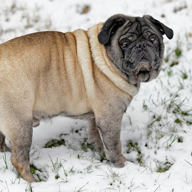 Waylon by Peder Magerøy - Animals - Dogs Portraits ( winter, cold, male, snow, fawn, cute, dog, pug, portrait )