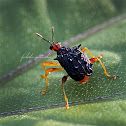 Spiny Leaf-Rolling Weevil