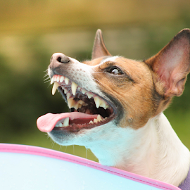 Summer Smiles by Cara Thomas - Animals - Dogs Playing ( #summerfun, #jackrussell, #dog, #swimming, #happy, #jrt )