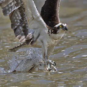 Osprey on target by Lynda Blair - Animals Birds ( fish, catch, virginia, osprey )