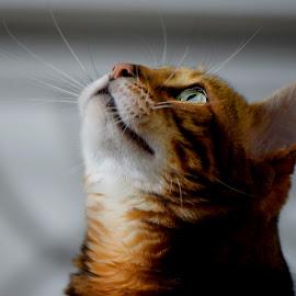 Storm Ryder by Lin Fauke - Animals - Cats Portraits ( kitten, cat, exotic, bengal, leopard, asian, eyes,  )