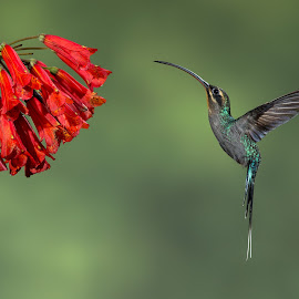 Dance of the Green Hermit. by Simon Quek - Animals Birds ( cloud forests, hummingbird, costa rica, green hermit, bosque de paz )