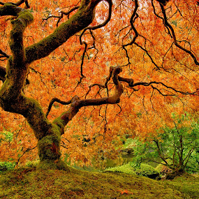 Japanese Maple by Gordon Banks - Landscapes Forests ( plant, portland japanese garden, oregon, north america, portland, fall colors, places, landscape, usa )