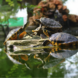 Turtles by Miguel Pontes - Animals Amphibians