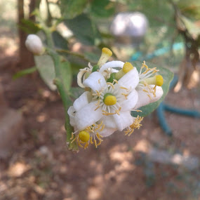 lemon tree blossom by Dinesh Kumar - Flowers Tree Blossoms ( tree blossoms, single shot, flowers, lemon, lemon tree flower )