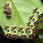 Saddleback Caterpillar Moth larvae