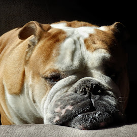 Sadness by Corina Ene Noël - Animals - Dogs Portraits ( bulldog, english bulldog, dog )