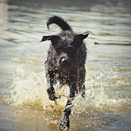 water splash  by Mira Markovic - Animals - Dogs Running