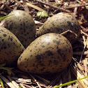 Tero (Egg)