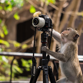 Monkey Photogrepher by Ariya Namwong - Animals Other ( zoo, camera, thailand, photographer, penny, monkey )