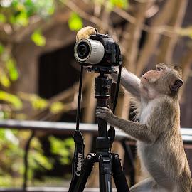Monkey Photogrepher by Ariya Namwong - Animals Other ( zoo, camera, thailand, photographer, penny, monkey )