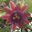 Passiflora (maracuya)