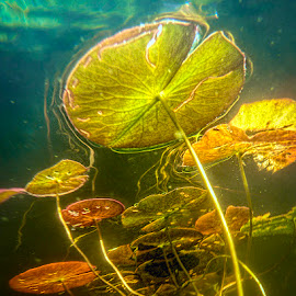 Under the water lilies by Betsy Wilson - Nature Up Close Other plants ( waterlily, under water, lilies, waterlilies, water lilies )