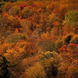 Orange Forest by Katie Munson - Landscapes Forests ( orange, mountain, foliage, vermont, leaves )