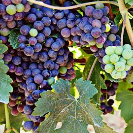 Grapes  by Katarzyna Malinowska - Nature Up Close Gardens & Produce ( tuscany grapes viola purpre maremma italy )