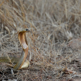 Cobra by Jaclyn T - Animals Reptiles ( snake, nature, africa, cobra, animal )