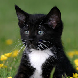 Baxter by Nikki Spencer - Animals - Cats Kittens ( kitten, cat, tuxedo, black and white, outdoors, cute,  )