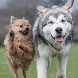 best freinds by Michael  M Sweeney - Animals - Dogs Puppies ( joy, alaskan malamute, puppy, dog, pomeranian )