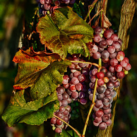 Grapes on the Vine by Martin Belan - Nature Up Close Gardens & Produce ( wine, grapes on the vine, vines, grapes, winery )