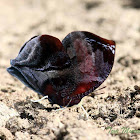Red-patched Leafwing