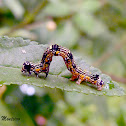 Geometrid moth caterpillar