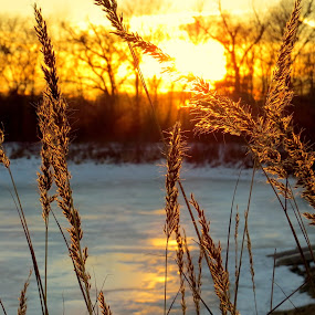 Golden Grain by Diane Ebert - Landscapes Sunsets & Sunrises ( #thecandidshutterbug, #peaceful, #goldehour, #sunset, #grains, golden hour, sunset, sunrise )