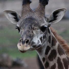 #safari #giraffe by Violator Fotography - Animals Other