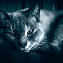 Alice by Lee Jorgensen - Animals - Cats Portraits ( duo tone, cat, pet, feline, animal )