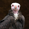 White Head Vulture