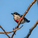 Red-keeled Flowerpecker