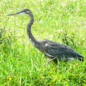 Great Blue Heron (immature)