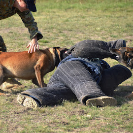 Playful Dogs by Tim Bieler - Animals - Dogs Running ( military dogs, dogs, attack dogs, german shepherd, adf )