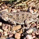 Greater Short-horned Lizard